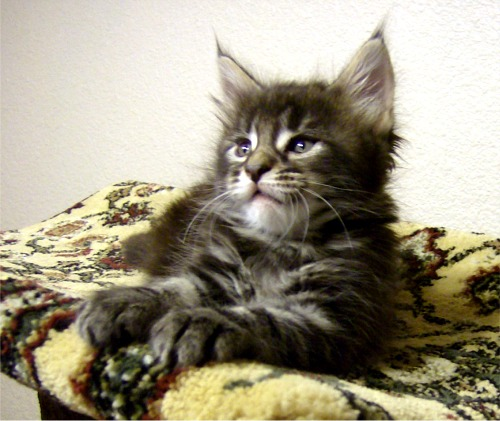 Maine coon cats size 5